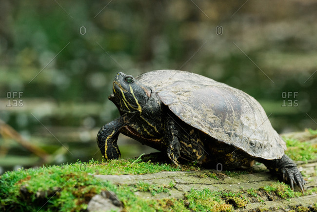 Closeup view of a large red-eared slider turtle on a mossy log
