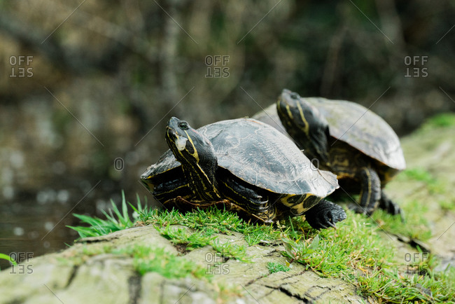 Two wild red-eared sliders on a log in a pond