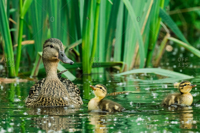 Straight on view of a mother duck and her two ducklings