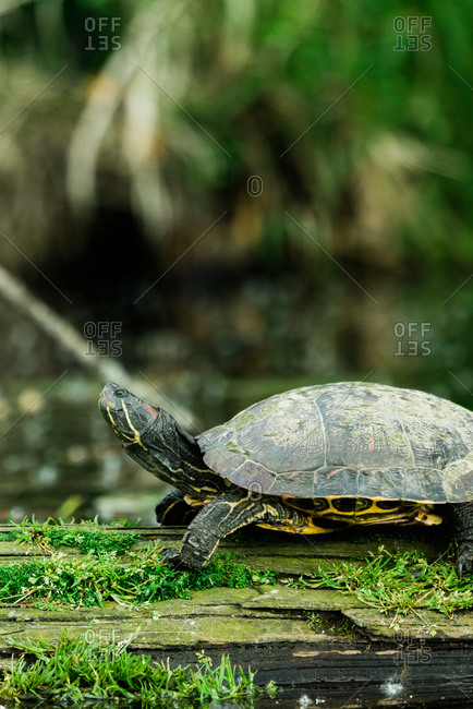 Closeup side view of a wild red-eared slider on a moss-covered log