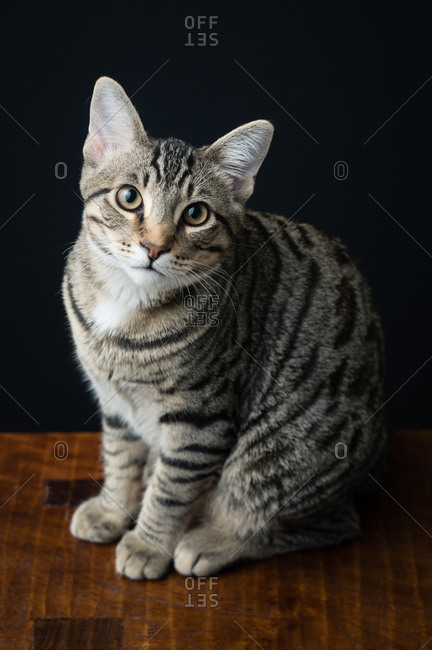 High Angle View of Tabby Cat Sitting on Bench Against Black Background