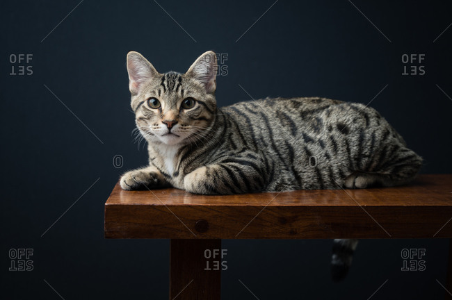 Domestic Shorthair Cat Lying on Bench Against Black Background