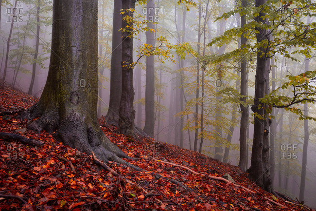 Beech forest in Mala Fatra national park  on a rainy day, Slovakia.