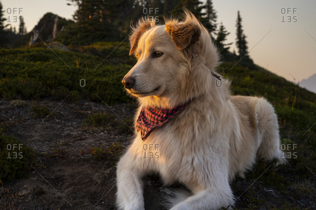 Cute fluffy pup watching the sunset in the mountains