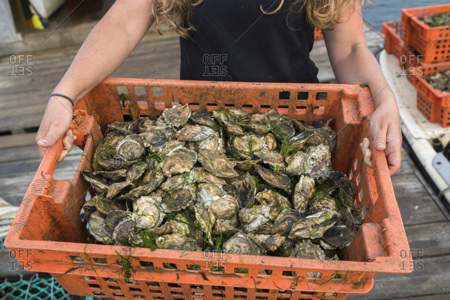 Woman's hands holding crate of oysters