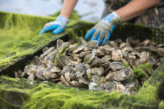 Close up of oysters in oyster cage with gloved hands in background