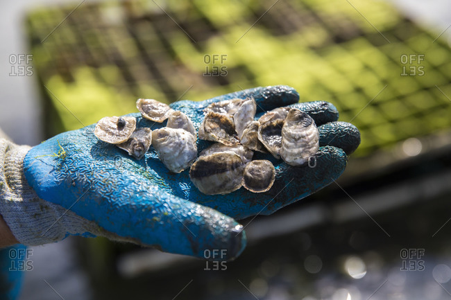 Close up gloved hand holding juvenile oysters