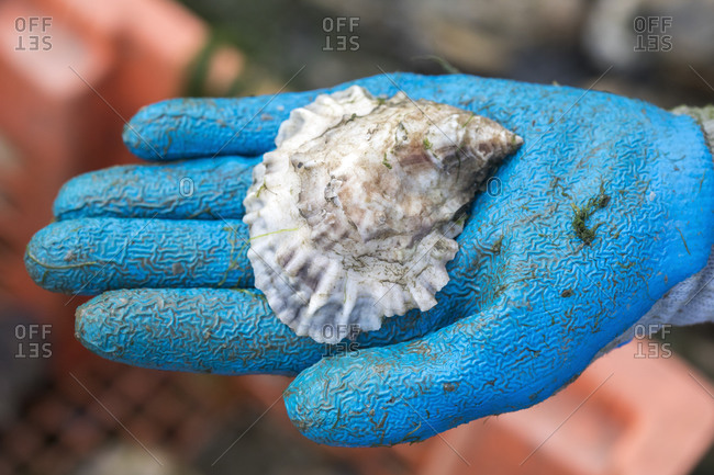 Close up gloved hand holding oyster