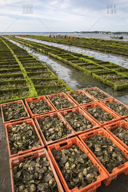 Oyster farm scene with crates and cages of oysters