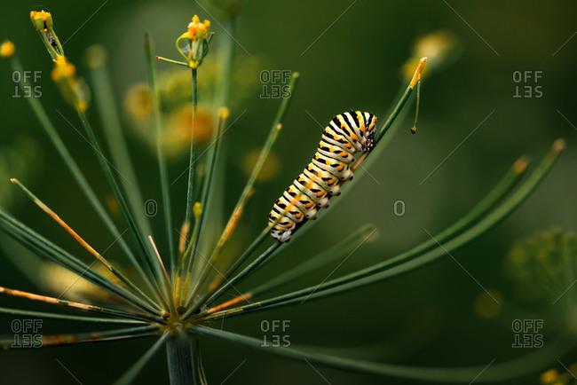 Swallowtail caterpillar sitting on dill weed in a backyard garden
