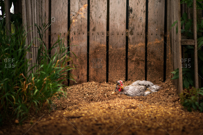 Olive egger chicken dust bathing in compost