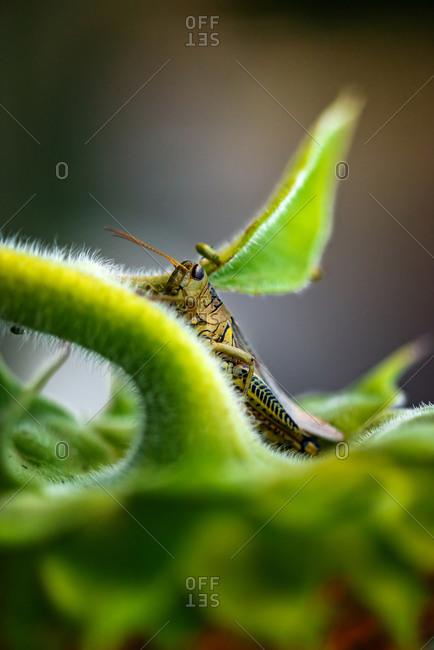 Grasshopper hiding within sunflower leaves outside in a garden