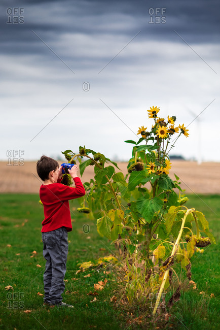 Small boy taking photos of sunflowers in a backyard with toy camera