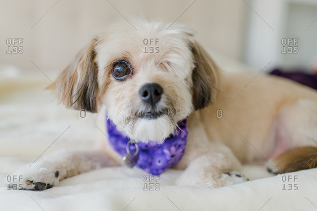 One-eyed dog with purple bandana laying on a bed