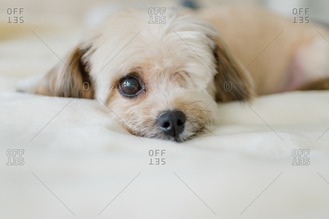 Dog with one eye laying down and looking at camera