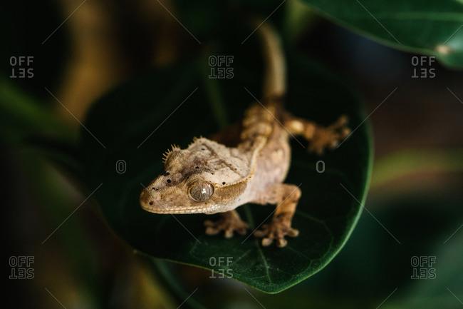 Tint crested gecko on green leaf