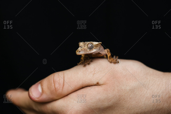 Pet crested gecko sits on young boys hand