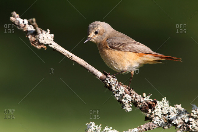 Common redstart female with the last lights of day
