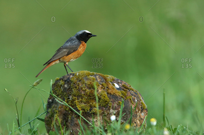 Common redstart male with the last lights of day