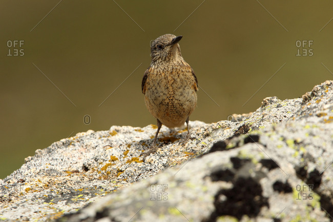 Rufous-tailed rock thrush female on a rock with the first light of day