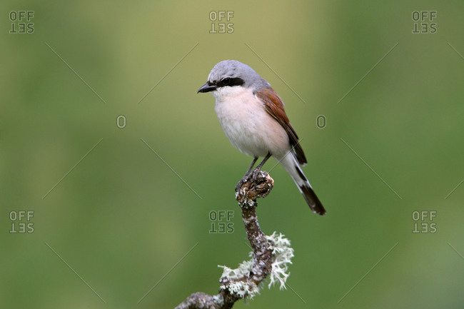 Red-backed shrike male in their breeding territory at the first light