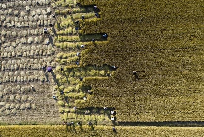 China jiangsu subei plain golden rice harvest