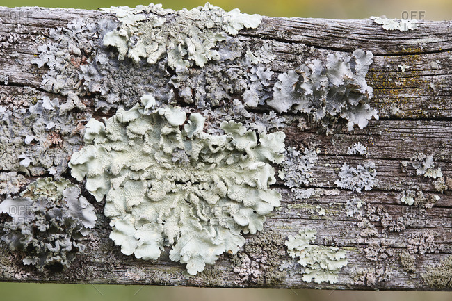 Close-up of lichen on wooden fence