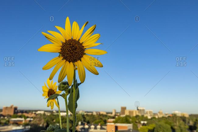 USA, Idaho, Boise, Close-up of sunflower