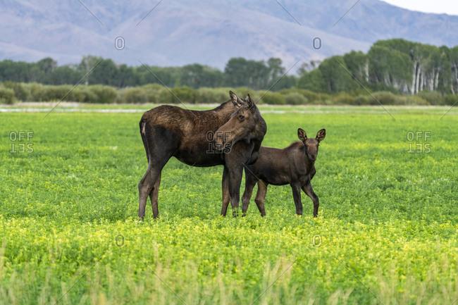 USA, Idaho, Bellevue, Moose cow and calf in meadow