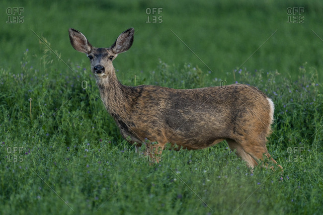 USA, Idaho, Bellevue, Deer standing in meadow