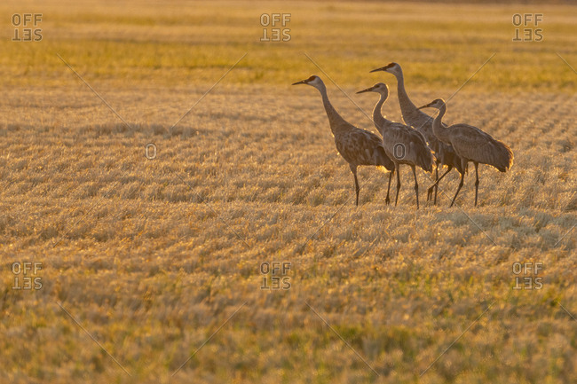USA, Idaho, Bellevue, Sandhill cranes (Antigone canadensis) in stubble field
