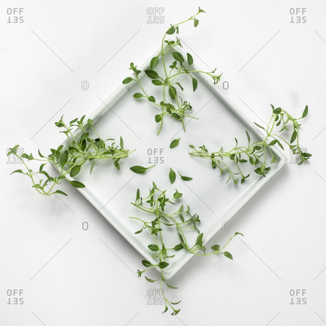 Close-up of Thyme on white background