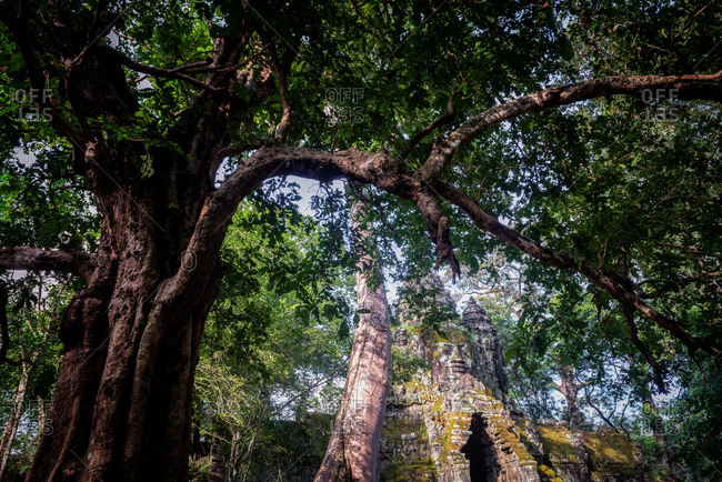 Angkor Archaeological Park, Siem Reap, Cambodia. Buddha's face seen through jungle trees at north gate of Angkor Thom.