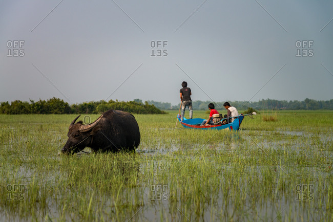 KOMPONG THOM, CAMBODIA - 2012 April 14: Locals make their way across flooded paddy fields with water buffalo grazing.
