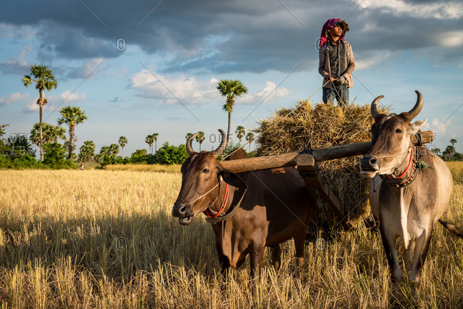 KOMPONG THOM, CAMBODIA - 2012 June 18: Local farmer exits old rice paddy field on cow cart with rice stems.