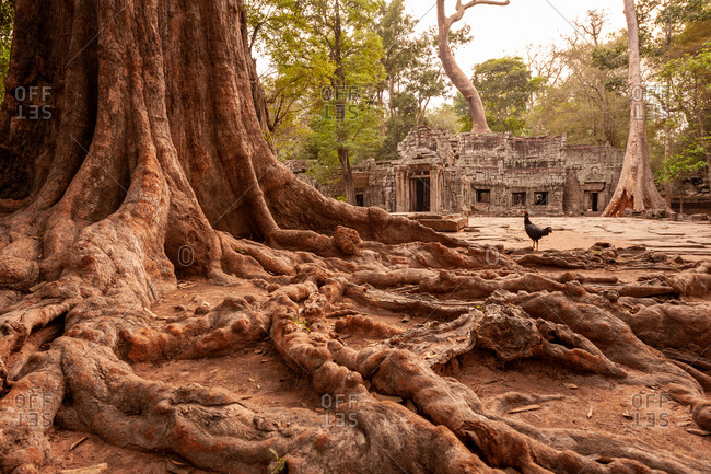 Close up of tree roots at east entrance to Ta Prohm temple in Angkor Par, Siem Reap, Cambodia.