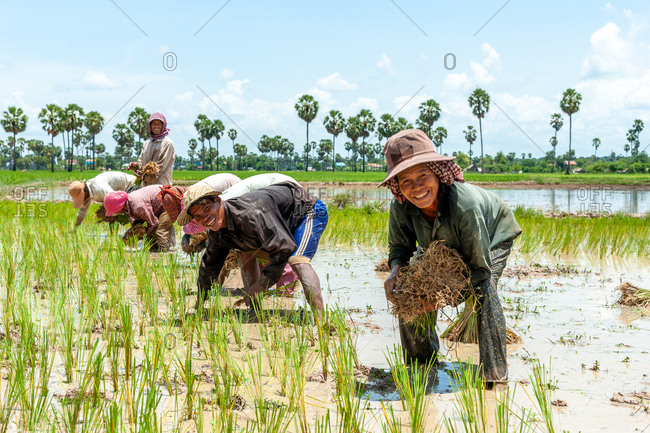 KOMPONG THOM, CAMBODIA - 2012 August 20: Farmers start replanting rice in fresh paddy fields.