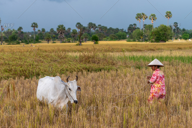 KEP, CAMBODIA - 2013 December 16: Local farmer looks after her cow while letting it graze.