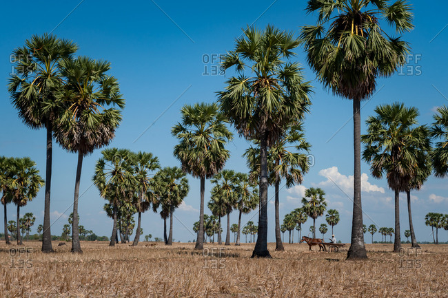 Horse and cart in-between sugar palm trees in dry paddy field. Kompong Cham, Cambodia.