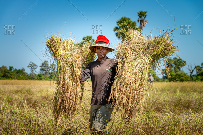 KOMPONG THOM, CAMBODIA - 2012 June 24: Collecting rice stems for animal feed by hand.