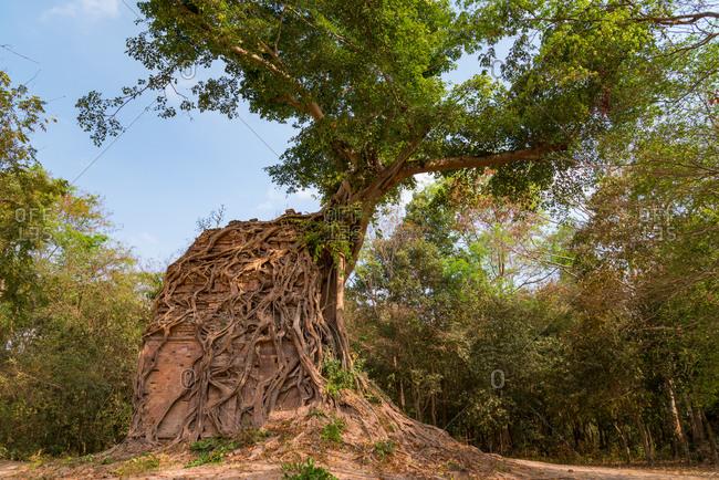 Tree roots growing around ancient temple; Sambor Pre Kok, Kompong Thom, Cambodia.