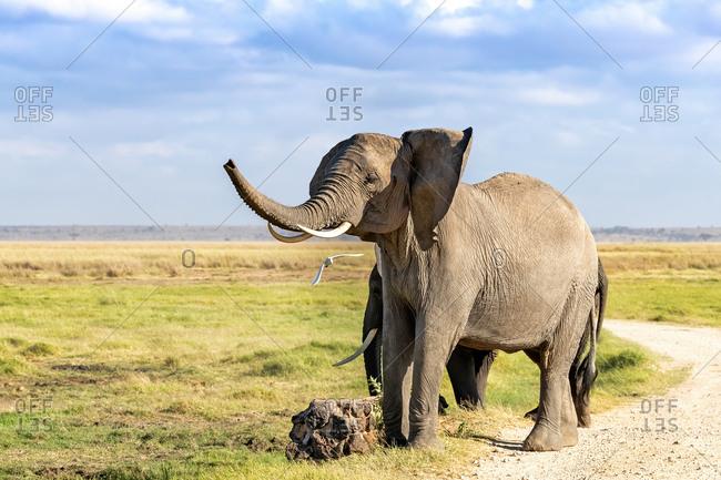 Trumpeting African elephant, Loxodonta africana, in Amboseli National Park, Kenya