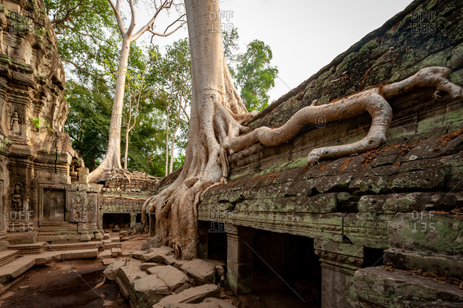 Famous tree growing out of temple in Ta Prohm, Angkor Park, Siem Reap, Cambodia.