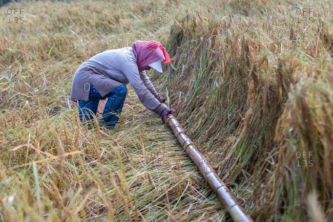 KEP, CAMBODIA - 2013 December 16: Preparing rice for harvest using bamboo pole.