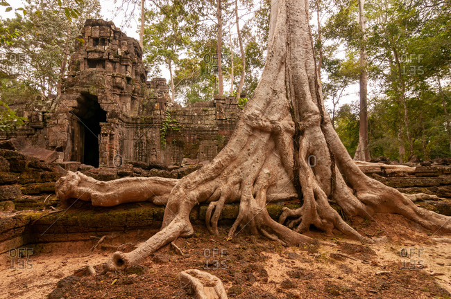 Tree roots before entrance to angkorian temple of Ta Nei Siem Reap. Cambodia.