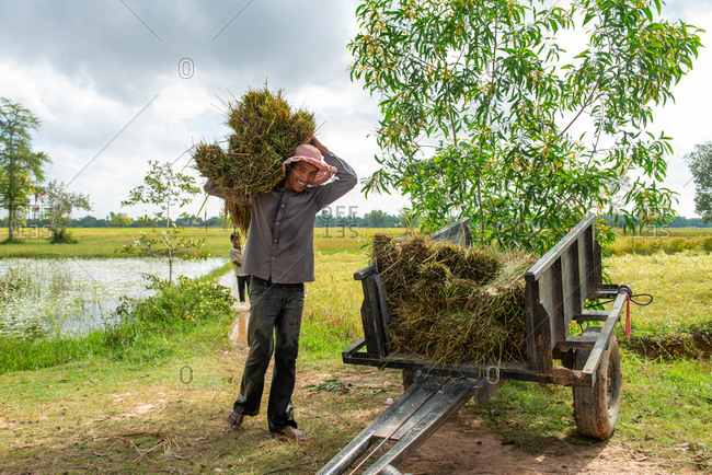 KEP, CAMBODIA - 2013 December 16: Collecting rice stems from paddy fields.