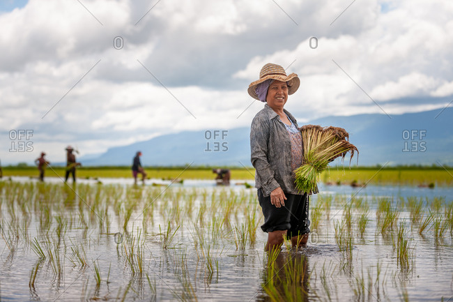 SIEM REAP, CAMBODIA  - 2011 August 18: Local lady transplanting rice.