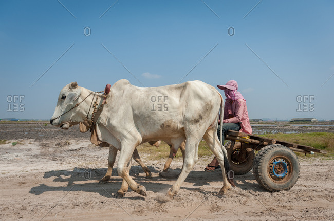 KAMPOT PROVINCE, CAMBODIA - 07 January 2014: Cow cart in salt fields.