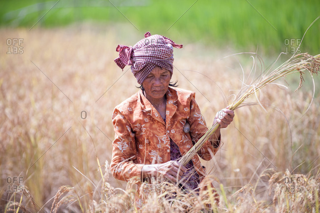 KEP, CAMBODIA - 2013 November 12: Local farmer harvests golden rice.