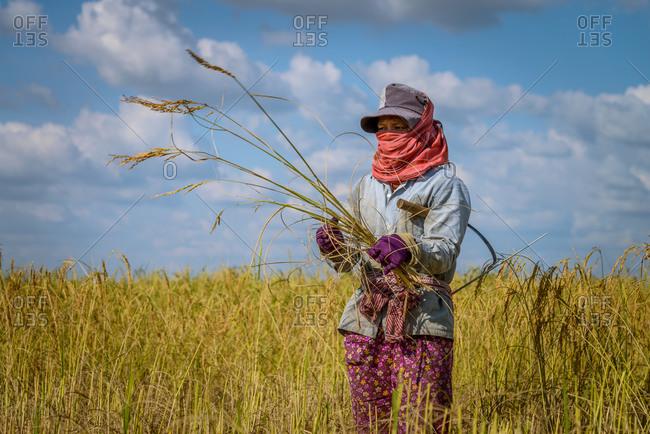 KOMPONG THOM, CAMBODIA - 2012 June 19: Locals harvest golden rice.